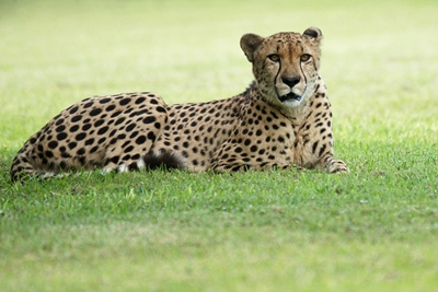 ghepard-pe-iarba-vaneaza