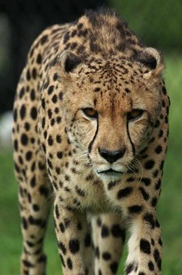 ghepard-animal-carnivor