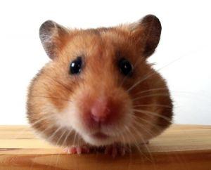 hamster-hrana
