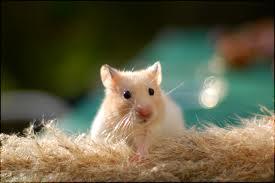 hamster-auriu-legume-proaspete