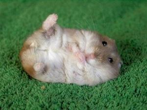 hamster-cu-picioarele-in-sus-animale-timide