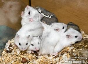hamster-rusesc-pitic-iarna