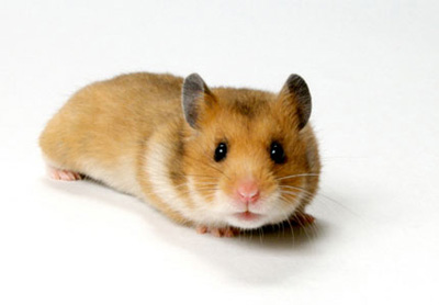 hamster-sirian-auriu-hamster-de-companie