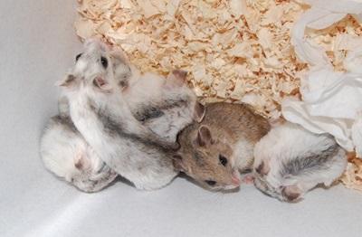 hamsteri-chinezesti-anumite-insecte