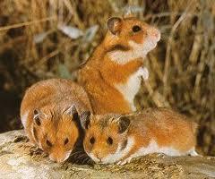 hamsteri-romanesti-rozatoare