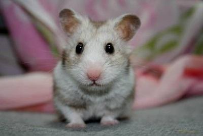 hamsteri-cusca