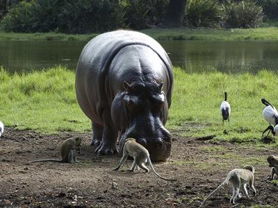 hipopotam-si-maimute-apa