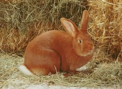 iepure-burgunder-in-paie-culoare-rosiatica
