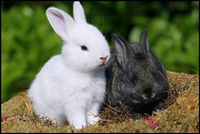 iepuri-alb-si-negru-animale-active