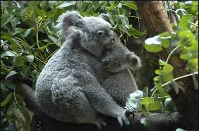 koala-cu-pui-animal-sedentar