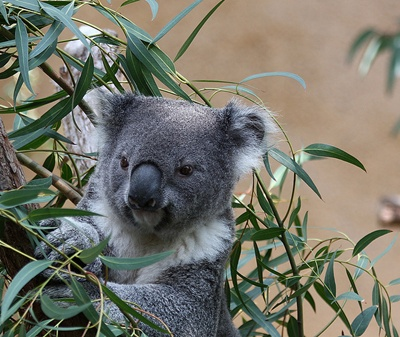 koala-in-copac-animal-marsupial-erbivor