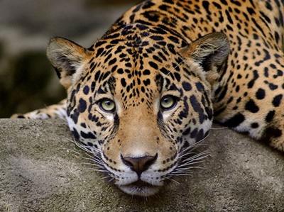 Leopard-cap-vanator