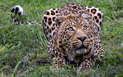 leopard-privire-intensa-captivitate