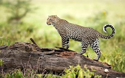 leopard-profil-blana