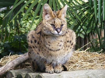 Leptailurus-serval-animal-carnivor