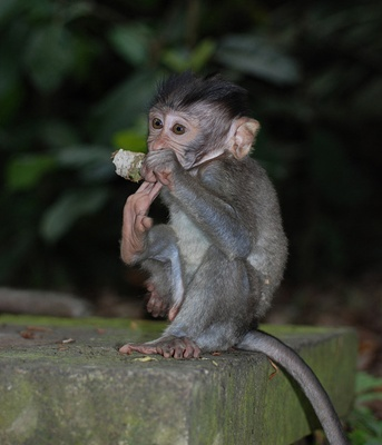 macac-pui-reproducere