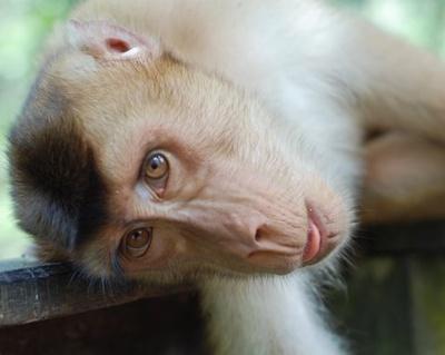 maimuta-macac-pradatori