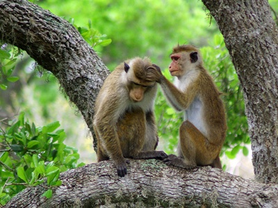 maimute-macac-japonez-patrupeda