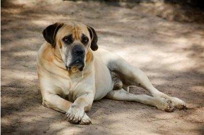 mastiff-intins-musculos