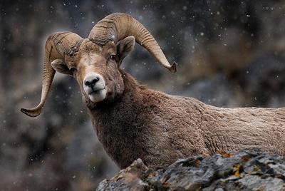 muflonul-bighorn-ovis-canadensis-zapada