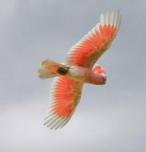 papagal-cacadu-roz-in-zbor-cioc-puternic