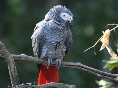 papagal-gri-african-crenguta-penaj