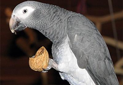 papagal-gri-african-mancand-vitamina-A