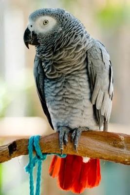 papagal-gri-african-apa