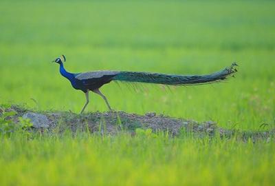 paun-profil-iarba-pasare-valoroasa