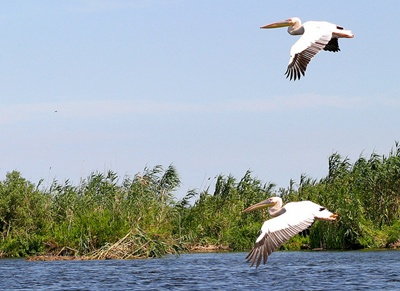 pelicani-in-zbor-cuibul