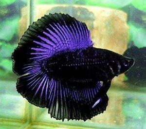 peste-betta-negru-acvariu