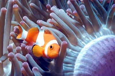 peste-clovn-anemone