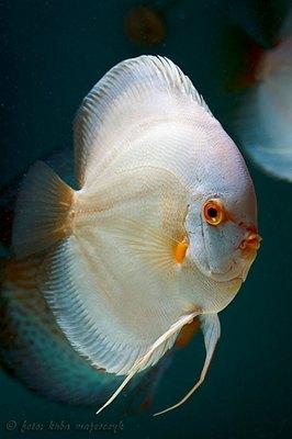 peste-discus-alb-carnivor