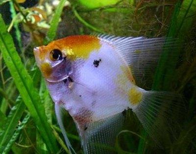 peste-scalar-alb-ape-lente