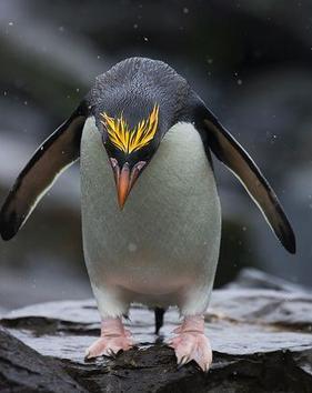 pinguin-macaroni-eudyptes-crysolophus-reproducere