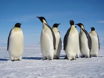 pinguini-imperiali-penaj