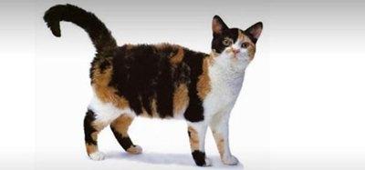 pisica-american-wirehair-inteligenta