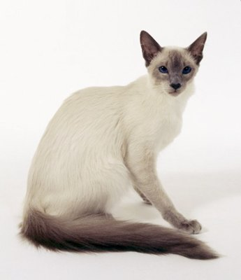 pisica-balineza-blana-lunga