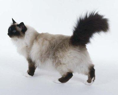 pisica-birmaneza-spate-apa-proaspata
