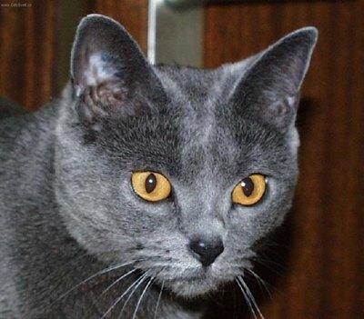 pisica-chartreux-blana-groasa
