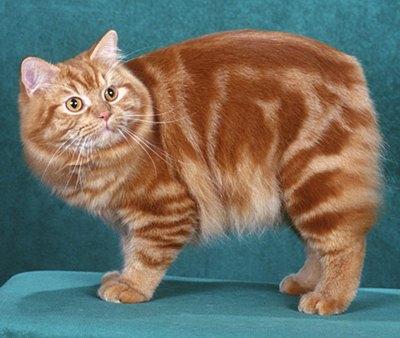 pisica-cymric-artrita