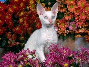 pisica-devon-rex-printre-flori-casa