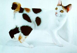 pisica-japanese-bobtail-iubeste-oamenii