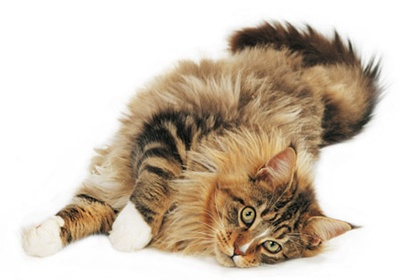 pisica-maine-coon-blana-stufoasa