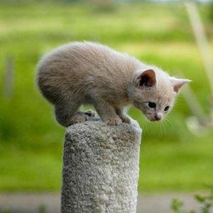 pisica-manx-obezitatea