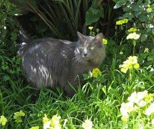 pisica-nebelung-ingrijire-saptamanala