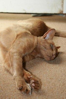 pisica-orientala-crem-pasinonata-de-oamenii