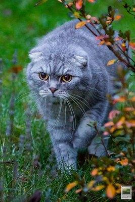 pisica-scotish-fold-in-iarba-docila