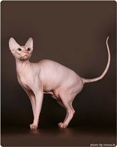 pisica-sfinx-fara-par-trucuri