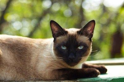 pisica-siameza-sacra